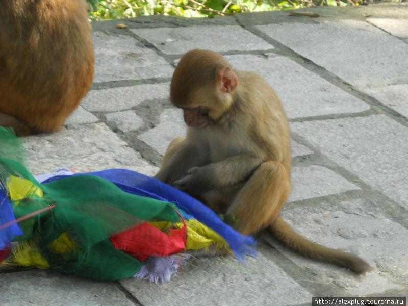 Позавидовали другие обезьяны, и оборвали молитвенные флажки.