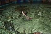 Скаты ведут себя как дельфины: наполовину высунувшись из воды, бегут по воде и барахтаются