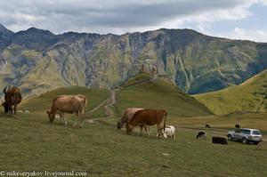 На высокогорном плато неспешно пасутся стада коров.