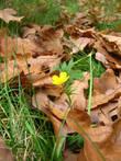 А при взгляде на этот пробившийся из опавших дубовых листьев цветок вспомнились другие строки: