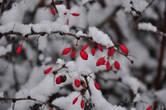 Кусты барбариса в зиму — гимн лаконичной палитре зимы: на