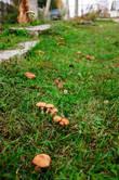 Грибы растут прямо перед домом