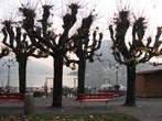 вот как уродуют деревья европейцы, берегущие природу