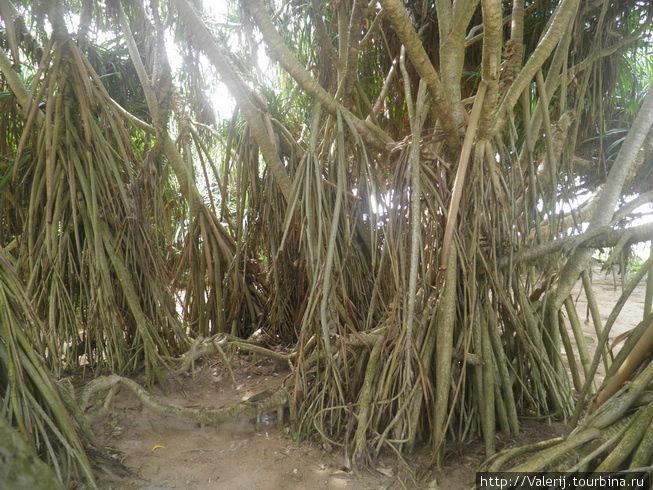 Это и есть мангровые деревья