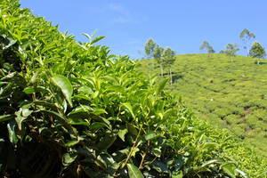 Листики индийского чая