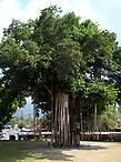 Священное дерево во дворе храма