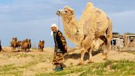 Верблюды не редкость в пустынях Прикаспия. Напиток из верблюжьего молока – шубат, очень популярен в этих краях