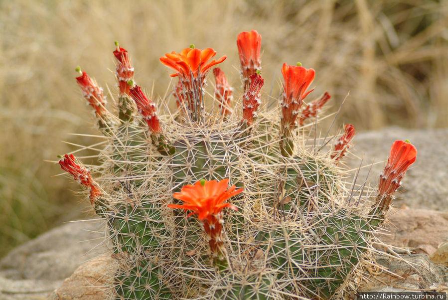 Империя цветущих кактусов Национальный парк Сагуаро, CША
