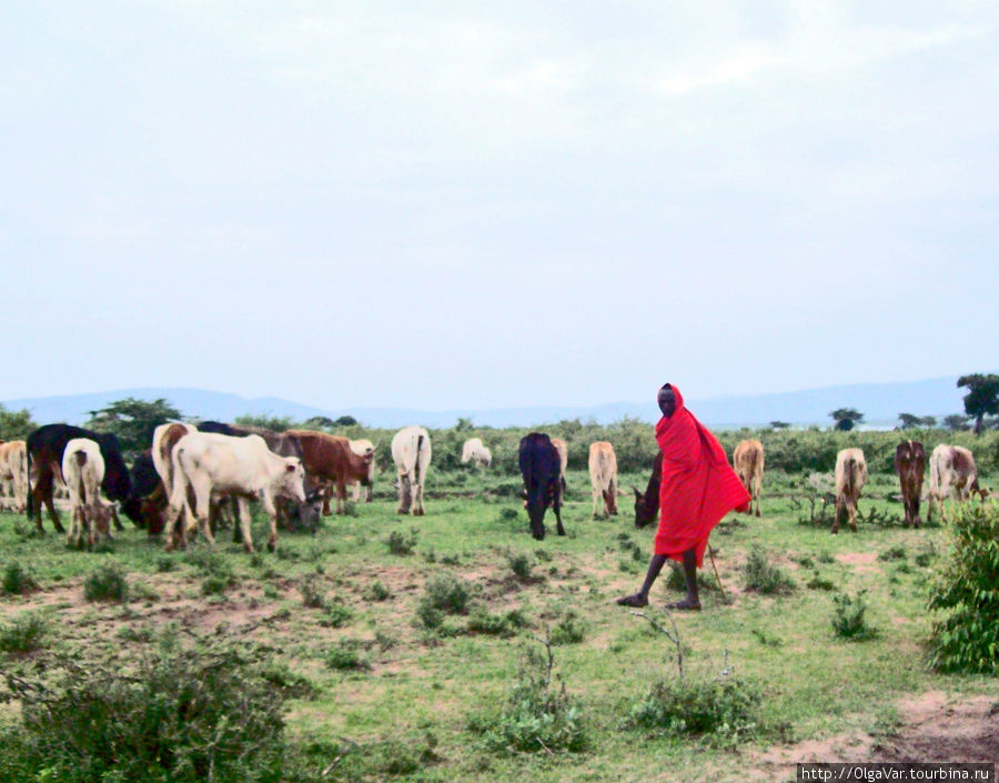 Масай-скотовод