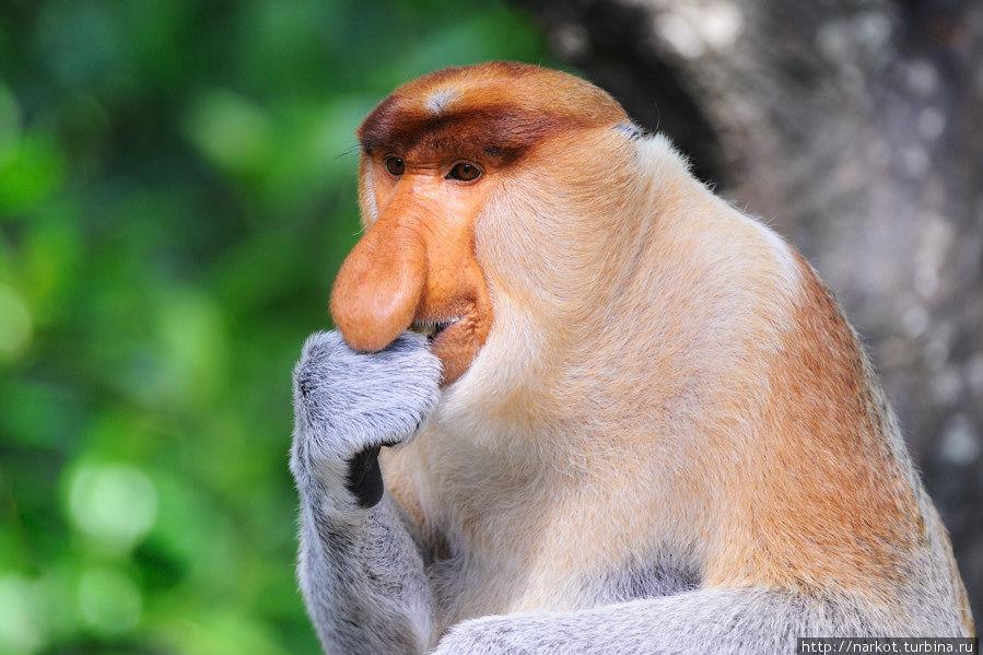 картинки обезьян с длинным носом такие симптомы